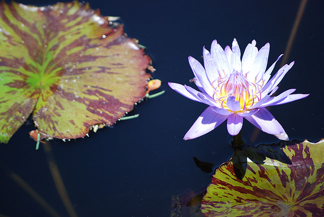 Water Lilly by Jon Shore
