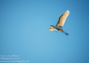 egret at sunrise burtnieki latvia