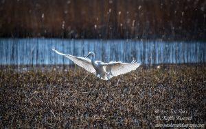 great white egret latvia