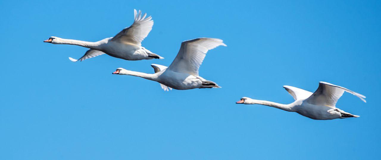 swans flying latvia